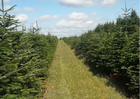 Choinki bożonarodzeniowe, gałęzie jodły kaukaskiej